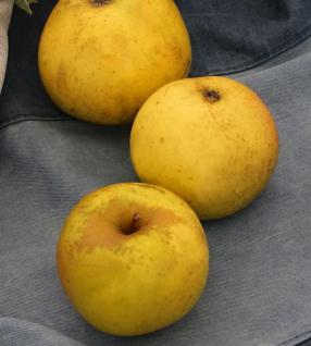Apfelbaum Jeverraner Süßapfel 60-80cm - säuerlich und trocken - Vorschau