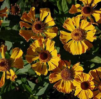 Sonnenbraut Feuersiegel - Helenium cultorum - Vorschau