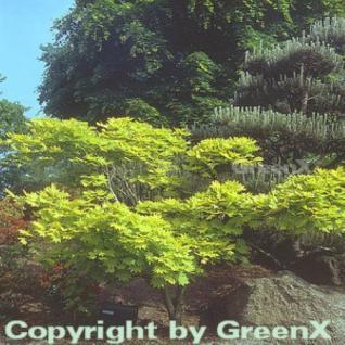 Japanischer Goldahorn 80-100cm - Acer shirasawanum Aureum - Vorschau