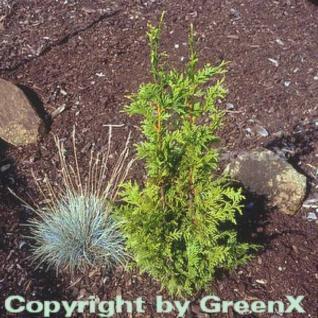 Riesenlebensbaum Can Can 25-30cm - Thuja plicata - Vorschau