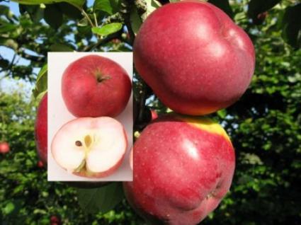 Apfelbaum Himbeerapfel von Holowausy 60-80cm - saftig und innen rötlich - Vorschau