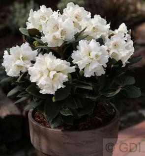 Großblumige Rhododendron Honigduft 50-60cm - Alpenrose - Vorschau