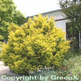Goldene Straucheibe 70-80cm - Taxus baccata Semperaurea - Vorschau