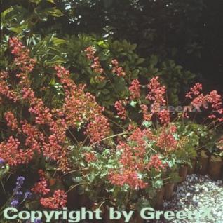 Purpurglöckchen Leuchtkäfer - großer Topf - Heuchera sanguinea - Vorschau