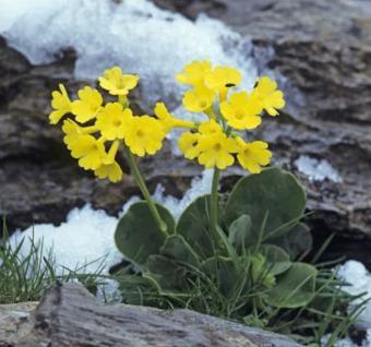 Alpenaurikel - Primula auricula - Vorschau