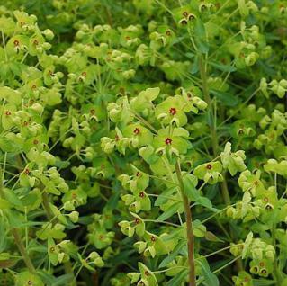 Busch Wolfsmilch - großer Topf - Euphorbia martinii - Vorschau