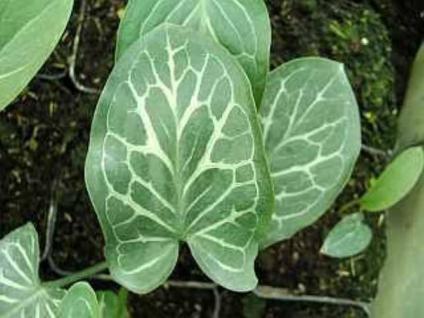 Aronstab Pictum - Arum italicum - Vorschau