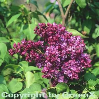 Edelflieder Mrs Eward Harding 100-125cm - Syringa vulgaris - Vorschau