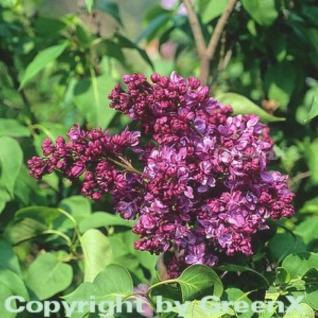 Hochstamm Edelflieder Mrs Eward Harding 125-150cm - Syringa vulgaris - Vorschau