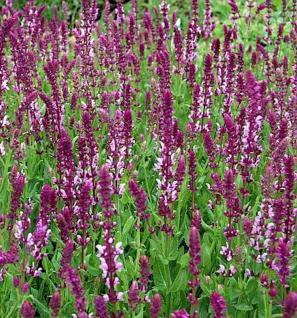 Ziersalbei Rose Queen - Salvia nemorosa - Vorschau