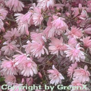 Kleine Sternmagnolie rosa 100-125cm - Magnolia stellata - Vorschau