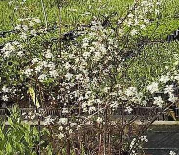 Wiesenkerbel Ravenswing - Anthriscus sylvestris - Vorschau