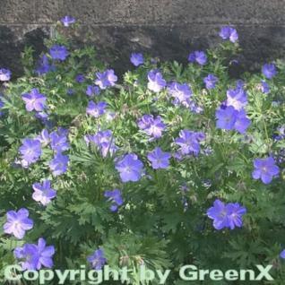 Wiesenstorchschnabel Johnsons Blue - Geranium pratense - Vorschau