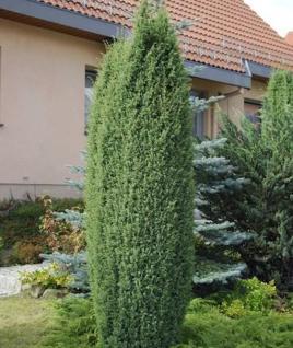 Wildwacholder Bruns 60-80cm - Juniperus communis - Vorschau