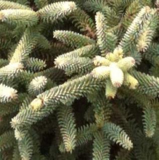 Gelbe spanische Tanne 25-30cm - Abies pinsapo - Vorschau