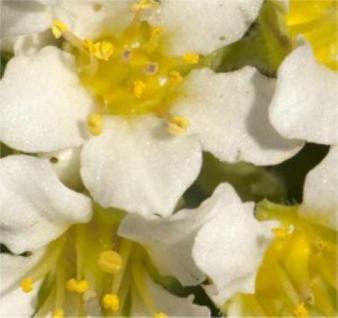 Moossteinbrech Pixi White - großer Topf - Saxifraga arendsii - Vorschau