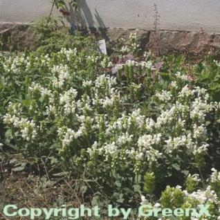 Großblütige Braunelle Alba - Prunella grandiflora - Vorschau