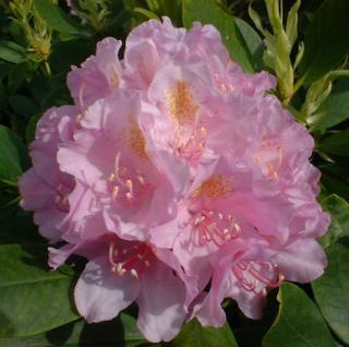 Großblumige Rhododendron Allah 40-50cm - Alpenrose - Vorschau