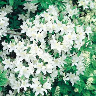 Japanische Azalee Palestrina 30-40cm - Rhododendron obtusum - Zwerg Alpenrose - Vorschau