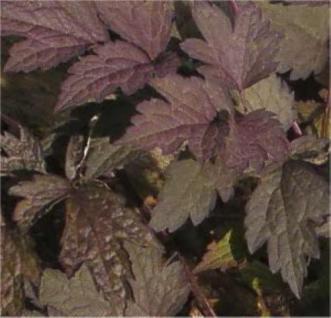 Traubensilberkerze Pink Spike - Cimicifuga ramosa - Vorschau