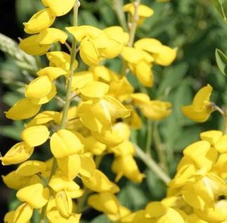 Schwärzender Ginster Cyni 20-30cm - Cytisus nigricans - Vorschau