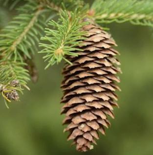 Rotfichte 125-150cm - Picea abies - Vorschau