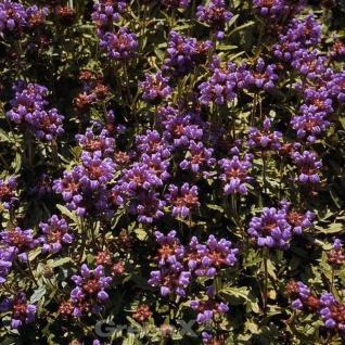 Großblütige Braunelle Bella Rose - Prunella grandiflora - Vorschau