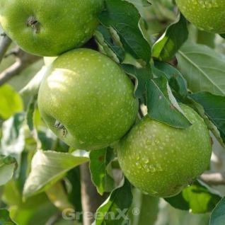 Apfelbaum Granny Smith 60-80cm - feinsäuerlich Lagerapfel - Vorschau