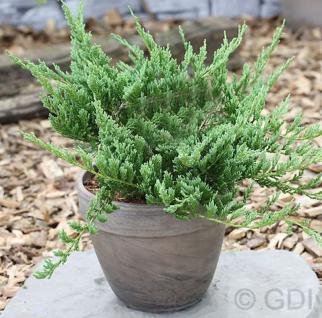 Blauer Kriechwacholder Blue Chip 20-25cm - Juniperus horizontalis - Vorschau