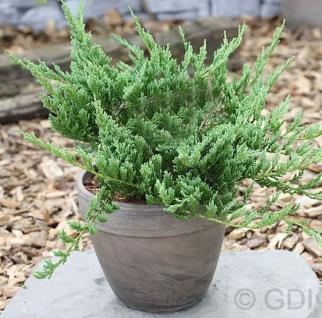 Blauer Kriechwacholder Blue Chip 30-40cm - Juniperus horizontalis - Vorschau