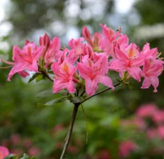 Rhododendron Pennsylvania 40-50cm - Rhododendron viscosum - Vorschau