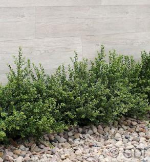 Japanische Zwerg Stechpalme Green Lustre 30-40cm - Ilex crenata - Vorschau