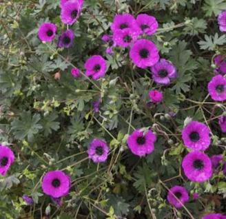 Storchenschnabel Splendens - Geranium cinereum - Vorschau