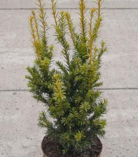Aufrechte Goldeibe Golden Crown 15-20cm - Taxus baccata - Vorschau