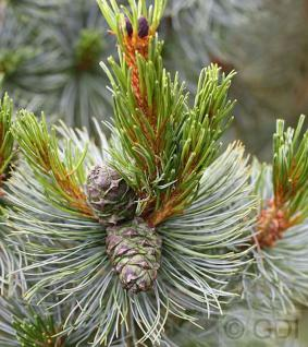 Blaue Kriechkiefer 30-40cm - Pinus pumila Glauca - Vorschau