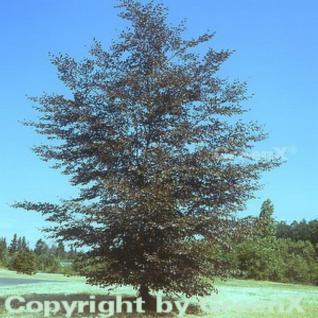 Blutbuche 80-100cm - Fagus sylvatica Purpurea - Vorschau