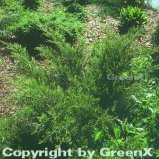 Grüner Strauchwacholder Mint Julep 40-50cm - Juniperus media - Vorschau