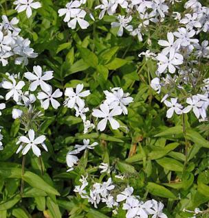Niedrige Flammenblume May Breeze - Phlox divaricata - Vorschau