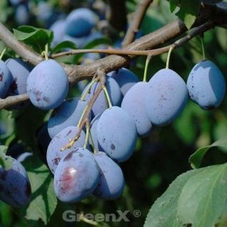 Zwetsche 60-80cm - Prunus domestica - Vorschau