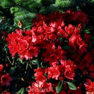 Rhododendron Titan Beauty 30-40cm - Alpenrose - Vorschau