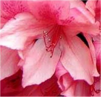 Rhododendron Millenium 30-40cm - Rhododendron viscosum - Vorschau