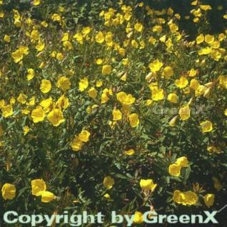 Gemeine Nachtkerze - Oenothera biennis - Vorschau
