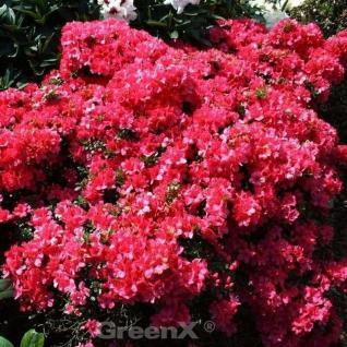 Japanische Azalee Hatsugin 15-20cm - Rhododendron obtusum - Zwerg Alpenrose - Vorschau