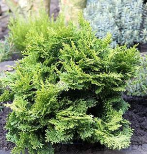 Hinoki Scheinzypresse 25-30cm - Chamaecyparis obtusa - Vorschau