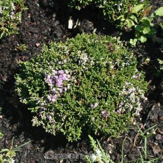 10x Besenheide Foxii Nana - Calluna vulgaris - Vorschau