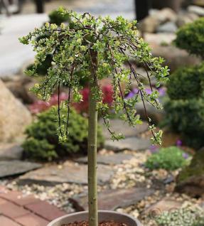 Hochstamm Teppichweide 30-40cm - Salix simulatrix - Vorschau