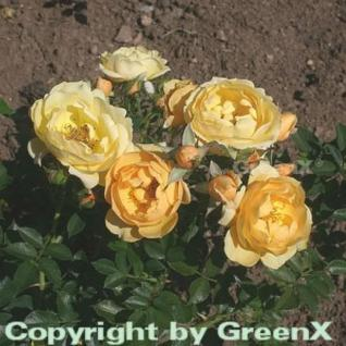Bodendeckerrose Amber Cover 20-30cm - Vorschau