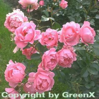 Hochstamm Rose Sommerwind® 60-80cm - Vorschau