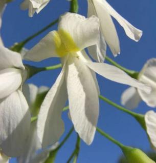 Amerikanischer Gelbholzbaum 100-125cm - Cladrastis lutea - Vorschau