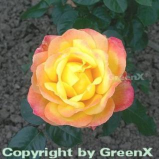 Hochstamm Rose Orient Express® 60-80cm - Vorschau